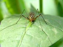 Κουνούπι στοκ φωτογραφίες με δικαίωμα ελεύθερης χρήσης