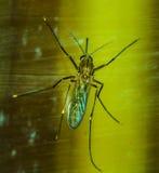 Κουνούπι Anophelese Στοκ φωτογραφία με δικαίωμα ελεύθερης χρήσης