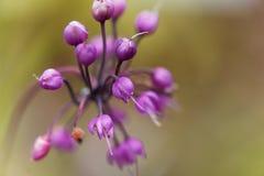 Κουνώντας κρεμμύδι, Allium cernuum Στοκ φωτογραφία με δικαίωμα ελεύθερης χρήσης