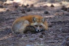 Κουρασμένη αλεπού Στοκ Εικόνες