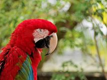 Κουρασμένος παπαγάλος Στοκ εικόνα με δικαίωμα ελεύθερης χρήσης