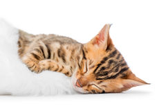 Κουρασμένο άτακτο γατάκι κοιμισμένο Στοκ Εικόνα
