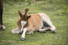 Κουρασμένο νέο δασικό foal πόνι Στοκ φωτογραφίες με δικαίωμα ελεύθερης χρήσης