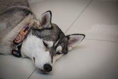 Κουρασμένο σιβηρικό γεροδεμένο σκυλί που βάζει το κεφάλι κινηματογραφήσεων σε πρώτο πλάνο πατωμάτων Στοκ Εικόνα