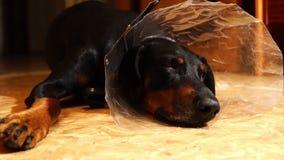 Κουρασμένο σκυλί σε ένα ιατρικό περιλαίμιο κώνων στο πάτωμα απόθεμα βίντεο