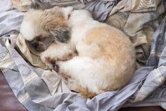 Κουρασμένο σκυλί κουτάβι Shih Tzu - κουτάβι Shih Tzu στοκ εικόνα με δικαίωμα ελεύθερης χρήσης