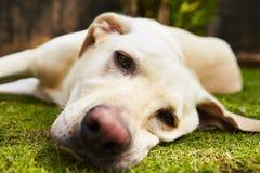 Κουρασμένο σκυλί Στοκ φωτογραφίες με δικαίωμα ελεύθερης χρήσης