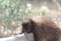Κουρασμένο Porcupine σε ένα πεσμένο κούτσουρο Στοκ Φωτογραφίες