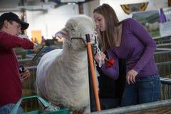 Κουρεύοντας πρόβατα Στοκ φωτογραφία με δικαίωμα ελεύθερης χρήσης