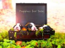 Κουτάβια για την πώληση στοκ εικόνες