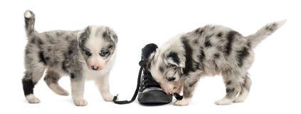 Κουτάβια διασταύρωσης που παίζουν με ένα παπούτσι που απομονώνεται στο λευκό Στοκ Φωτογραφίες