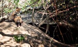 κουτάβια παιχνιδιού αλεπούδων Στοκ φωτογραφία με δικαίωμα ελεύθερης χρήσης