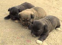 Κουτάβια σκυλιών Στοκ Εικόνα