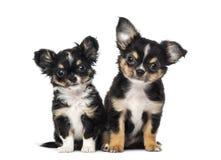 κουτάβια δύο chihuahua Στοκ Εικόνες