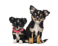 κουτάβια δύο chihuahua Στοκ φωτογραφίες με δικαίωμα ελεύθερης χρήσης
