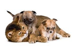 κουτάβια chihuahua γατών Στοκ εικόνα με δικαίωμα ελεύθερης χρήσης