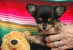 Κουτάβια 177 Chihuahua Στοκ Εικόνες