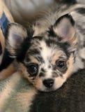 Κουτάβια 187 Chihuahua Στοκ φωτογραφία με δικαίωμα ελεύθερης χρήσης
