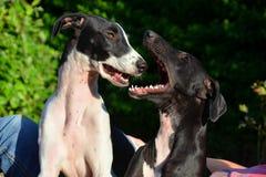 Κουτάβια Sighthound Στοκ Εικόνες