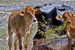 Κουτάβι αγελάδων Στοκ Φωτογραφίες