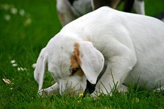 κουτάβι αλωπεκοθήρων σκύλων Στοκ Φωτογραφίες