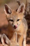 Κουτάβι αλεπούδων εξαρτήσεων που γλείφει τη μύτη Στοκ εικόνες με δικαίωμα ελεύθερης χρήσης