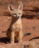 Κουτάβι αλεπούδων εξαρτήσεων Στοκ φωτογραφία με δικαίωμα ελεύθερης χρήσης