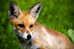 Κουτάβι αλεπούδων Στοκ Εικόνα