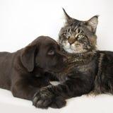 κουτάβι γατών Στοκ Εικόνες