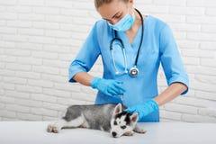 Κουτάβι γεροδεμένο με τα μπλε μάτια στη σύγχρονη κλινική κτηνιάτρων Στοκ φωτογραφία με δικαίωμα ελεύθερης χρήσης