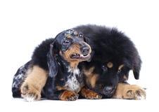 Κουτάβι και dachshund Στοκ Εικόνες