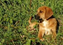 Κουτάβι κυνηγόσκυλων Στοκ εικόνες με δικαίωμα ελεύθερης χρήσης