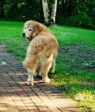 Κουτάβι που κοιτάζει καθώς περπατά μακριά στο NH Στοκ εικόνα με δικαίωμα ελεύθερης χρήσης