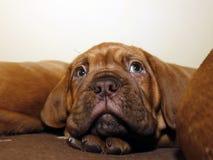 Κουτάβι σκυλιών του Μπορντώ - γαλλικό μαστήφ - οκτώ εβδομάδες Στοκ Εικόνες