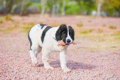 Κουτάβι σκυλιών Landseer Στοκ Φωτογραφίες
