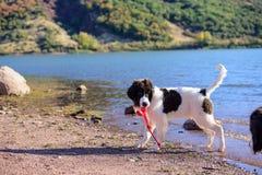 Κουτάβι σκυλιών Landseer Στοκ Εικόνα