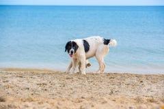 Κουτάβι σκυλιών Landseer Στοκ Εικόνες