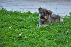 Κουτάβι σκυλιών ποιμένων Στοκ φωτογραφίες με δικαίωμα ελεύθερης χρήσης