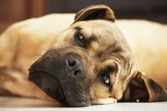 Κουτάβι σκυλιών στο σπίτι Στοκ Φωτογραφίες