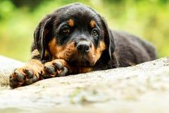 Κουτάβι σκυλιών Rottweiler Στοκ Εικόνες