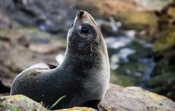 Κουτάβι σφραγίδων γουνών της Νέας Ζηλανδίας Στοκ Εικόνες