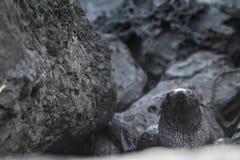 Κουτάβι σφραγίδων γουνών της Νέας Ζηλανδίας, Kekeno Στοκ Εικόνα