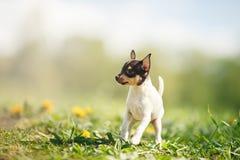 Κουτάβι τεριέ αλεπούδων παιχνιδιών φυλής σκυλιών Στοκ Εικόνες