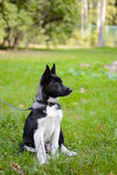 Κουτάβι της Λάικα, σκυλάκι Στοκ φωτογραφία με δικαίωμα ελεύθερης χρήσης