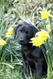 Κουτάβι του Λαμπραντόρ Cutie στα daffodils Στοκ εικόνα με δικαίωμα ελεύθερης χρήσης