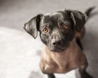Κουτάβι του μικτού περουβιανού σκυλιού που φαίνεται ευθέος στη κάμερα Στοκ φωτογραφία με δικαίωμα ελεύθερης χρήσης