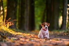 Κουτάβι του Jack russel στην αλέα φθινοπώρου στοκ εικόνα
