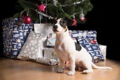 Κουτάβι του Jack Russell που περιμένει κάτω από το χριστουγεννιάτικο δέντρο Στοκ εικόνα με δικαίωμα ελεύθερης χρήσης
