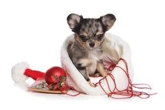 κουτάβι Χριστουγέννων chihuahua Στοκ Εικόνες