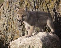 Κουτάβι λύκων Στοκ Φωτογραφία